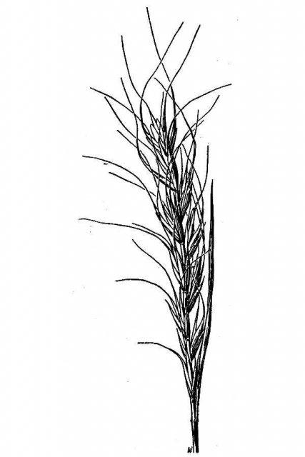 http://plants.usda.gov/java/largeImage?imageID=agba2_001_avd.tif