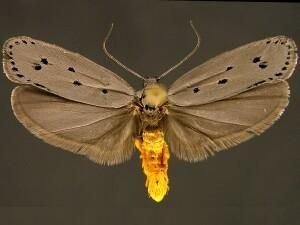 http://mothphotographersgroup.msstate.edu/species.php?hodges=0987