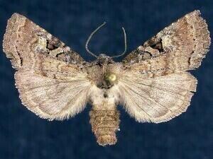 http://mothphotographersgroup.msstate.edu/species.php?hodges=9967