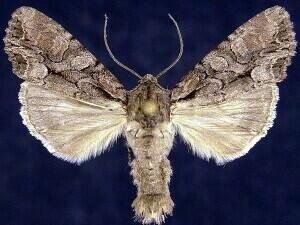http://mothphotographersgroup.msstate.edu/species.php?hodges=10299