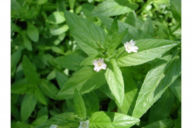 http://plants.usda.gov/java/largeImage?imageID=epcig_002_ahp.jpg
