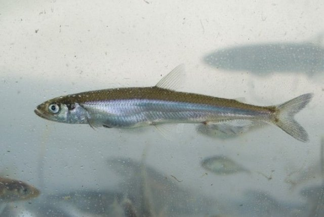 http://images.marinespecies.org/resized/31946_osmerus-mordax-rainbow-smelt-acperlan.jpg
