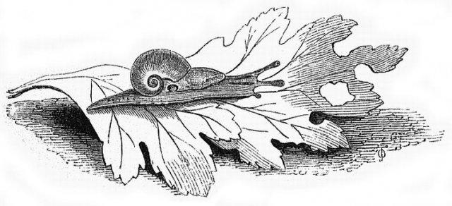 http://commons.wikimedia.org/wiki/File:Vitrina_pellucida_by_Jewitt.jpg