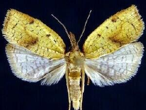 http://mothphotographersgroup.msstate.edu/species.php?hodges=3706