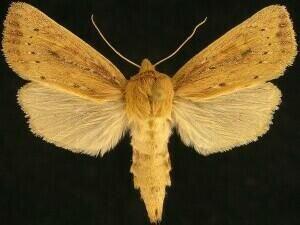 http://mothphotographersgroup.msstate.edu/species.php?hodges=9450