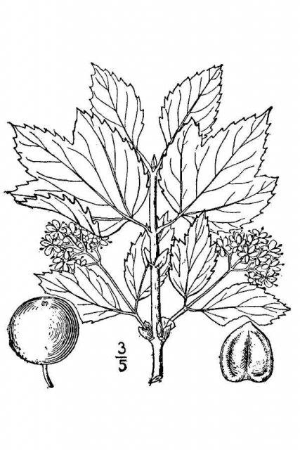 http://plants.usda.gov/java/largeImage?imageID=vipa11_001_avd.tif