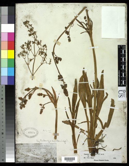 http://collections.mnh.si.edu/search/botany/?irn=10063121