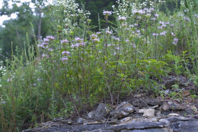 http://bioimages.vanderbilt.edu/gq/baskauf/gmofi--wpmass27546.jpg