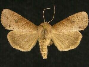http://mothphotographersgroup.msstate.edu/species.php?hodges=9351