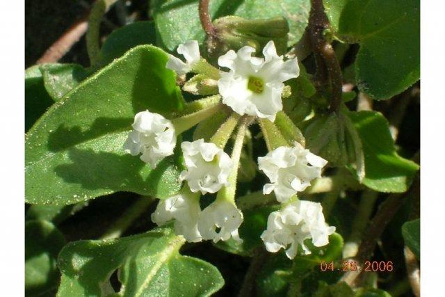 http://plants.usda.gov/gallery/large/abme_001_lhp.jpg