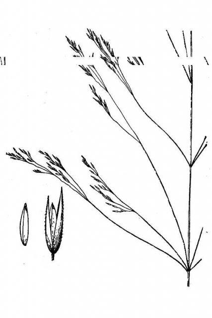 http://plants.usda.gov/java/largeImage?imageID=agsc5_001_avd.tif