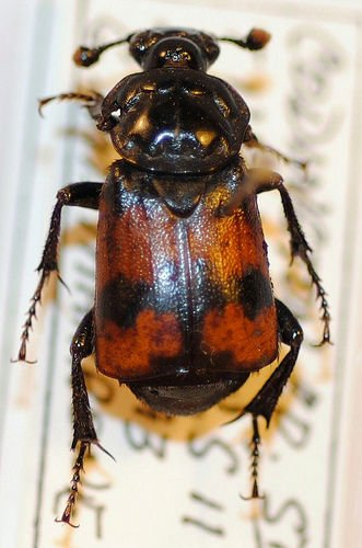 http://www.flickr.com/photos/nhm_beetle_id/4995877870/