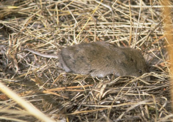 Long-tailed vole. Public Domain from http://eol.org/data_objects/27057967