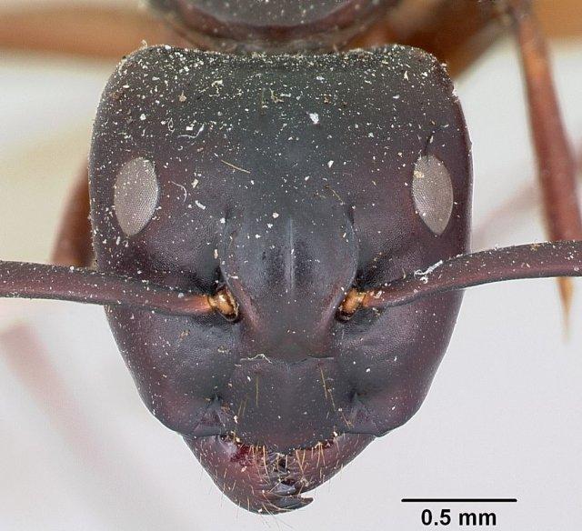 http://www.antweb.org/description.do?genus=camponotus&name=maccooki&rank=species