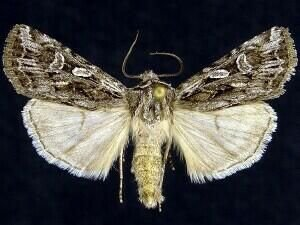 http://mothphotographersgroup.msstate.edu/species.php?hodges=10804