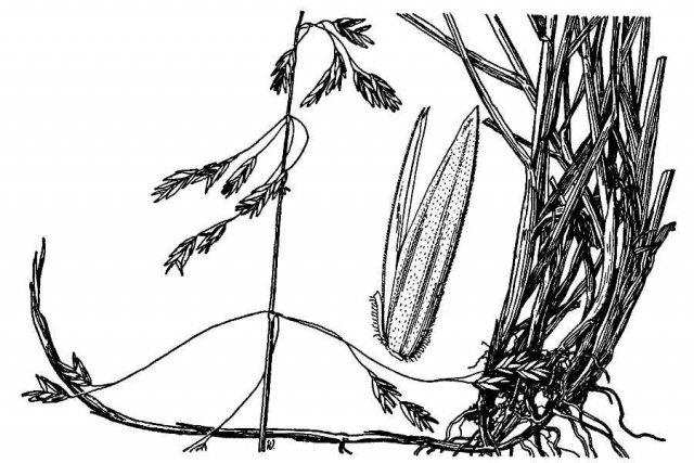 http://plants.usda.gov/java/largeImage?imageID=pone2_001_ahd.tif