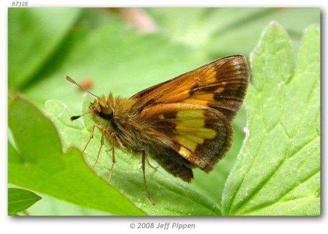 http://plants.usda.gov/gallery/large/lede_002_lhp.jpg