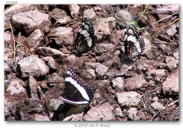 http://butterfliesofamerica.com/images/Nymphalidae/Limenitidinae/limenitis_weidemeyerii_coah_seg/Limenitis_weidemeyerii-Coahuila_segregate-M-M_MX_Coahuila_near_Campo_Uno_Maderas_del_Carmen_9_June_2005_4.JPG