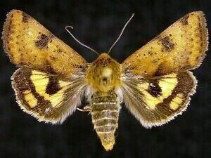 http://mothphotographersgroup.msstate.edu/species.php?hodges=11072.1