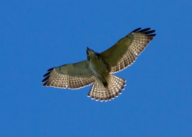 http://commons.wikimedia.org/wiki/File:Buteo_platypterus_immature_flying.jpg