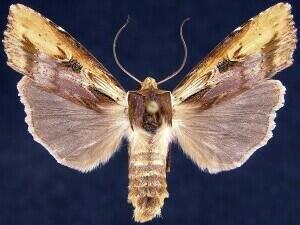http://mothphotographersgroup.msstate.edu/species.php?hodges=9874