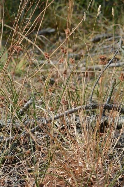 http://www.biopix.com/dense-woodrush-luzula-congesta_photo-112335.aspx
