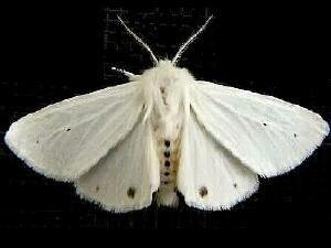http://mothphotographersgroup.msstate.edu/species.php?hodges=8137