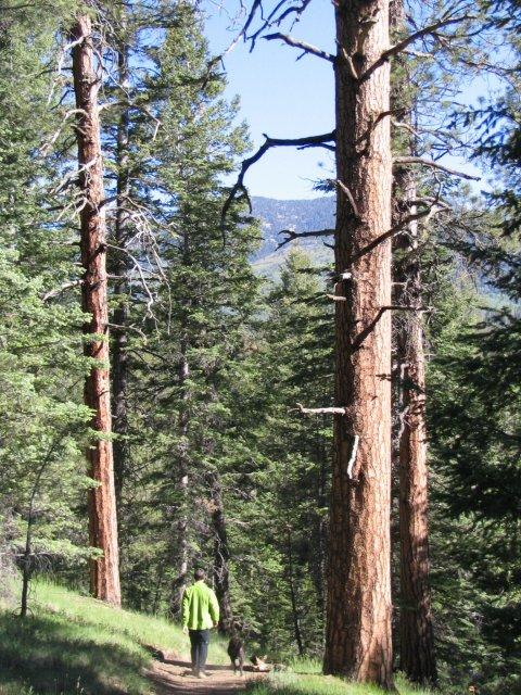 http://commons.wikimedia.org/wiki/File:Pinus_ponderosa_brachyptera_forest2.jpg