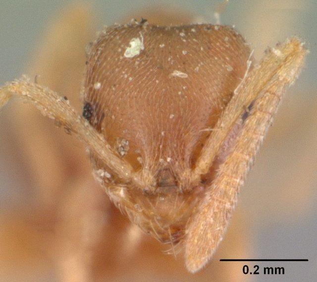 http://www.antweb.org/description.do?genus=brachymyrmex&name=depilis&rank=species