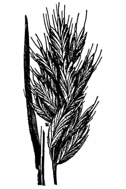 http://plants.usda.gov/java/largeImage?imageID=brmo2_001_avd.tif