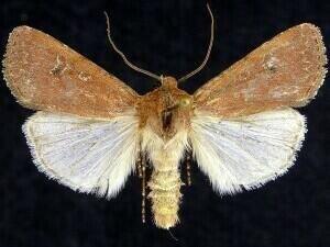 http://mothphotographersgroup.msstate.edu/species.php?hodges=10738