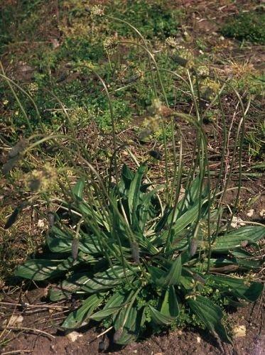 http://www.bioimages.org.uk/vfg/MWSt/MinDSDII/1969/69-05/69-05-25/69E25PlaLan1.jpg