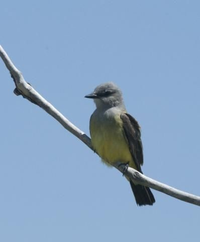 http://animaldiversity.ummz.umich.edu/site/resources/phil_myers/ADW_birds_3_4_03/kingbird7891.jpg/medium.jpg