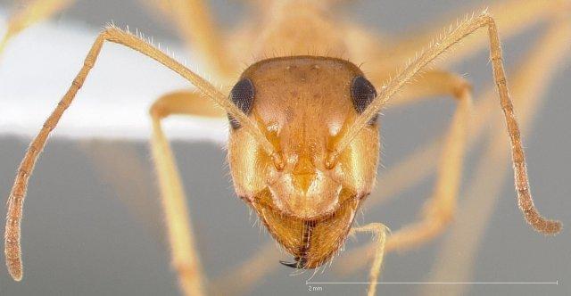 http://www.antweb.org/description.do?genus=myrmecocystus&name=testaceus&rank=species