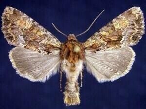http://mothphotographersgroup.msstate.edu/species.php?hodges=9339