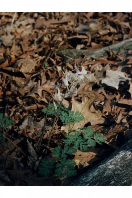 http://plants.usda.gov/gallery/large/dicu_003_lvp.jpg