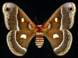 http://mothphotographersgroup.msstate.edu/species.php?hodges=7768