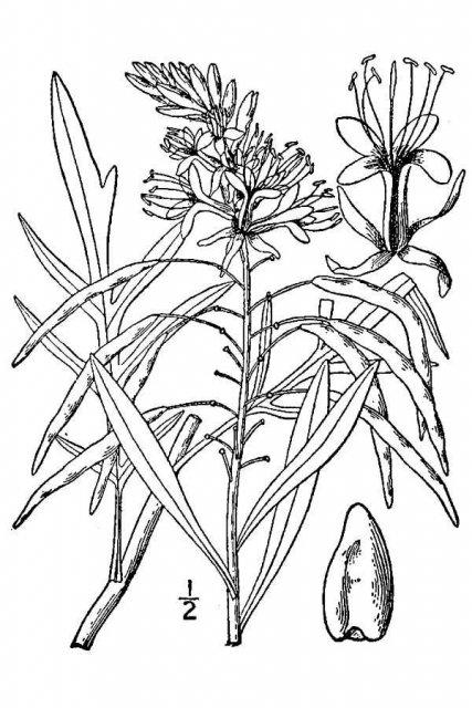 http://plants.usda.gov/java/largeImage?imageID=stpi_001_avd.tif