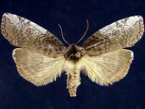 http://mothphotographersgroup.msstate.edu/species.php?hodges=6240