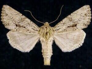 http://mothphotographersgroup.msstate.edu/species.php?hodges=9383
