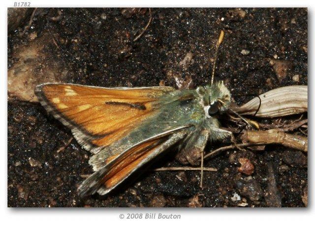 http://butterfliesofamerica.com/images/Hesperiidae/Hesperiinae/Hesperia_nevada_sierra/Hesperia_NV_sierra_M_South_Lake_Bishop_Inyo_Co_CA_USA_26-VI-05_3.jpg