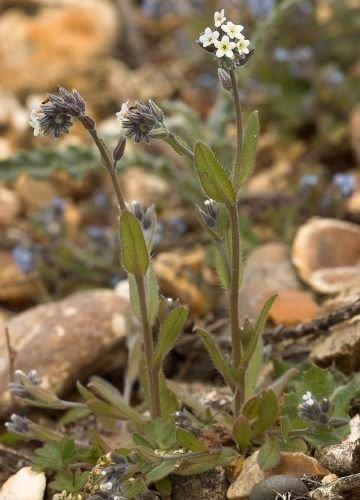 http://www.bioimages.org.uk/vfg/MWSt/NikonD100+T90/2006/06-05/06-05-01/06E01C_2.jpg
