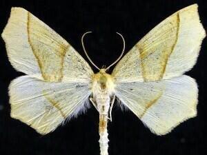 http://mothphotographersgroup.msstate.edu/species.php?hodges=6954