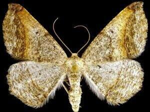 http://mothphotographersgroup.msstate.edu/species.php?hodges=6981