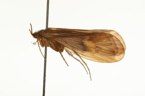 http://www.boldsystems.org/views/taxbrowser.php?taxon=Onocosmoecus+unicolor