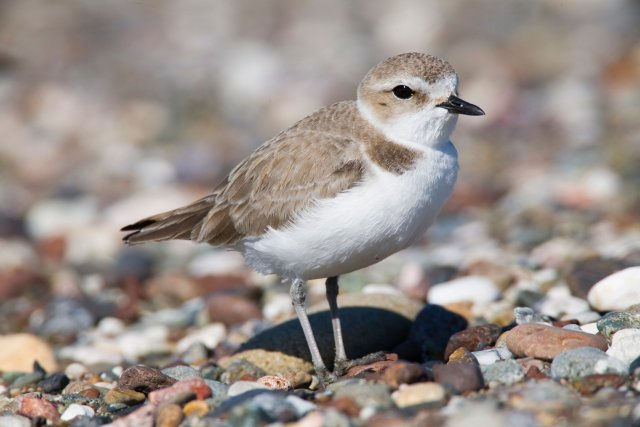 http://commons.wikimedia.org/wiki/File:Snowy_Plover_srgb.jpg