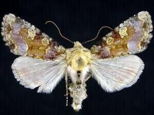 http://mothphotographersgroup.msstate.edu/species.php?hodges=9414.1