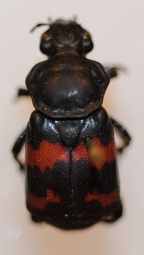 http://www.flickr.com/photos/nhm_beetle_id/4995887742/