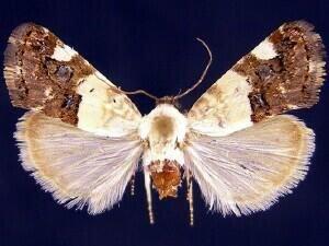 http://mothphotographersgroup.msstate.edu/species.php?hodges=9159.1