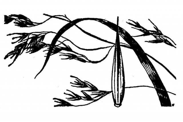 http://plants.usda.gov/java/largeImage?imageID=fesu_001_ahd.tif